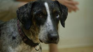 Walter the Coonhound/Catahoula Mix Stray