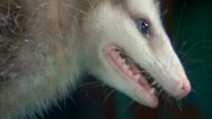 Night of the Living Possum