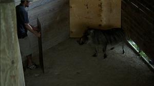 Herding a Crabby Warthog
